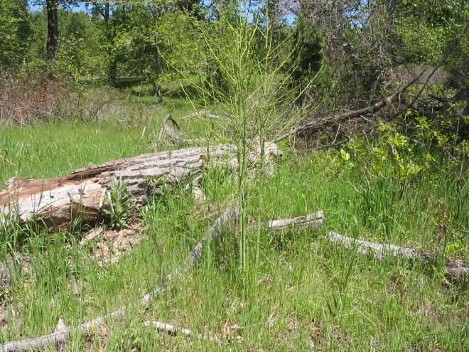 Wild asparagus along the Rogue River