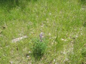 Miniature lupine sprouted up here and there.