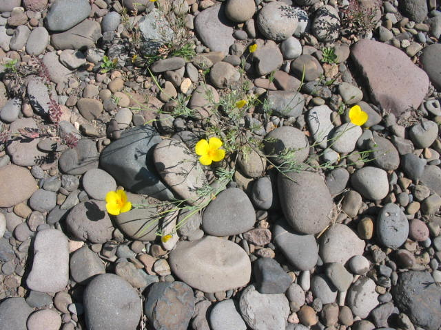 Buttercups...California Poppy...oh how Teri and I love them!!
