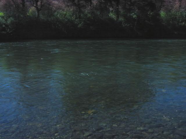 Pair of spawning chinook salmon.