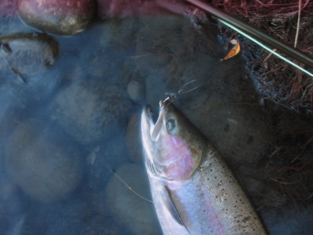 Rogue Steelhead with Silver Heron Fly