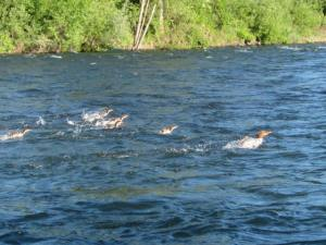 The fish duck family making their great escape at high speed right by me in the mid river.