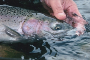 Native Rogue River steelhead released to fight again.