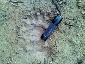 I came across this large black bear track on an ancient logging road.