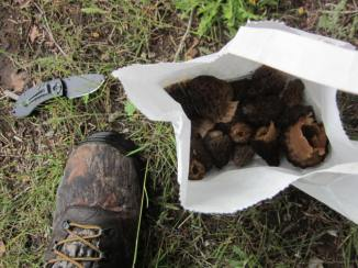 A nice collection of morels found scattered over the hillside and old logging cuts.