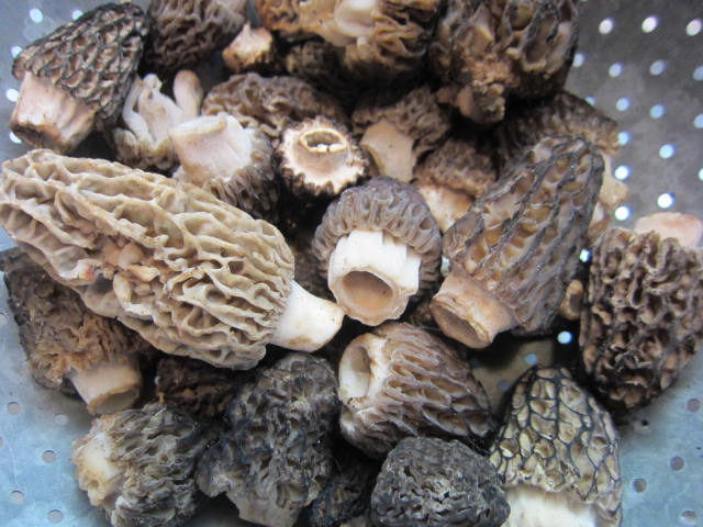 Black and Yellow Morels