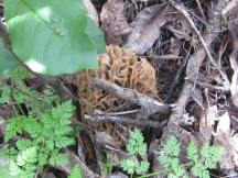 Big swollen hog morel found under the Oregon ash.