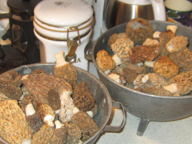 April 18 Morels